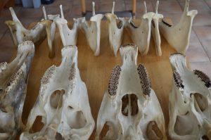 Preparatie van skeletten: schedels