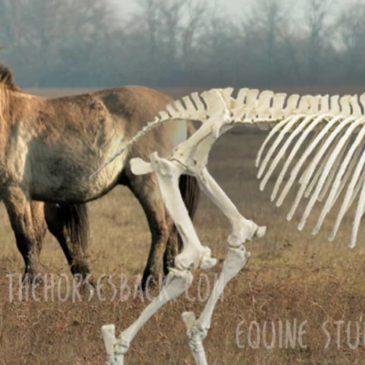 The Sprung Pelvis: Is it Worse in Ridden Horses?